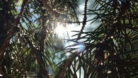 Il sole splende tramite i ramoscelli verdi dell'ABETE video d archivio
