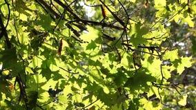 Il sole splende tramite le foglie verdi di legno stock footage