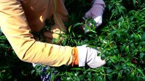 Il sole vicino accende le mani della donna in guanti che selezionano i peperoncini stock footage