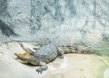 Il sonno del coccodrillo del primo piano nello stagno dell'alligatore allo zoo ha strutturato il fondo con lo spazio della copia Immagine Stock