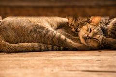 Il sonno gemellato del gatto dei cuties Fotografie Stock Libere da Diritti