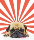 Il sonno sveglio del carlino del cucciolo del cane dal mento e la lingua fuori mettono sul pavimento sopra il fondo astratto del  Fotografia Stock