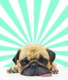 Il sonno sveglio del carlino del cucciolo del cane dal mento e la lingua fuori mettono sul pavimento sopra il fondo astratto del  Immagine Stock Libera da Diritti
