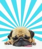 Il sonno sveglio del carlino del cucciolo del cane dal mento e la lingua fuori mettono sul pavimento sopra il fondo astratto del  Immagine Stock