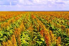 Il sorgo coltivare i campi nel Botswana Immagine Stock Libera da Diritti
