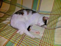 Il soriano bianco del gatto dorme con le zampe attraversate, sul piumino fotografia stock libera da diritti