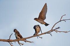 Il sorso nordico di Roughwinged lancia nel volo Fotografia Stock