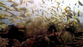 Il subaqueo nel underwater del pesce della scuola si rilassa il fondo stock footage