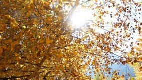 Il Sun dà una occhiata a dietro le foglie di autunno stock footage