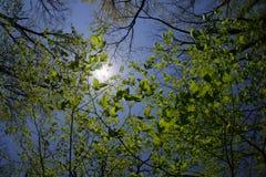 Il Sun emette luce attraverso la cima di questi rami e grandi foglie verdi immagine stock libera da diritti