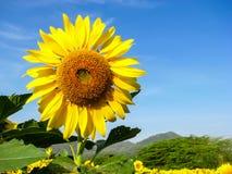 Il Sun giallo piacevole fiorisce sul fondo piacevole del cielo blu Fotografia Stock