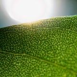 Il Sun splende attraverso il bordo di una foglia strutturata verde Fotografia Stock