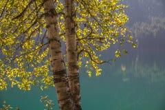 Il Sun splende attraverso il fogliame di caduta degli alberi del pioppo, BC Immagine Stock Libera da Diritti