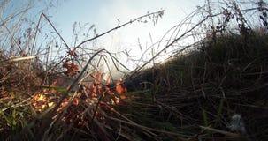 Il Sun splende attraverso il fumo ed il fuoco, erba asciutta bruciante e cespugli nella molla in anticipo o nella caduta tarda video d archivio