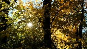 Il Sun splende attraverso la foresta di autunno, movimento della macchina fotografica archivi video