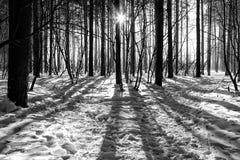 Il Sun splende tramite il percorso degli alberi nel sole soleggiato dell'inverno della foresta Immagini Stock