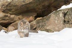 Il suo tempo affinchè questo gatto selvatico piombino sulla preda Immagini Stock