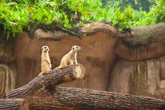 Il suricate di Meerkats è in guardia Fotografie Stock Libere da Diritti