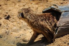 Il suricatta del Suricata di Meerkat sta andando via dal suo foro Fotografia Stock