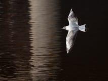 Il tè del giovane uccello sorvola una superficie dell'acqua Fotografia Stock Libera da Diritti
