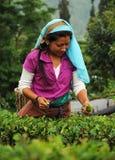 Il tè del selezionamento della donna frondeggia, Darjeeling, India Immagini Stock