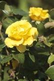 Il tè giallo è aumentato Fotografia Stock Libera da Diritti