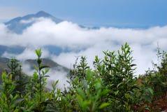 Il tè organico selvaggio fotografia stock libera da diritti