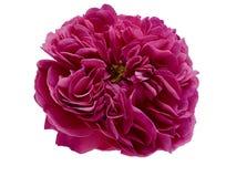 Il tè rosa dei petali è aumentato immagine stock libera da diritti