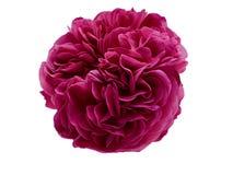 Il tè rosa dei petali è aumentato fotografia stock