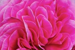 Il tè rosa dei petali è aumentato fotografia stock libera da diritti