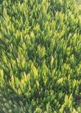 Il tè verde sta sviluppandosi Fotografie Stock Libere da Diritti