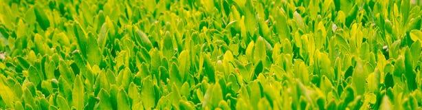 Il tè verde sta sviluppandosi Immagine Stock