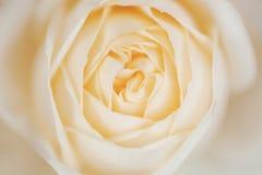 Il tè del primo piano della rosa di giallo è aumentato, giallo pastello Fotografie Stock
