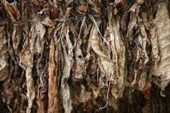 Il tabacco lascia l'essiccamento Immagini Stock
