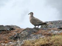 Il tabacco si è tuffato uccello che sta sul bordo del ` s della roccia Fotografia Stock Libera da Diritti