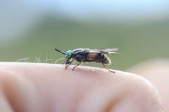 il tafano terribile con gli occhi verdi si siede sul vostro dito Fotografia Stock
