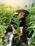 Il tagete con si rilassa il giardinaggio, mattina con la piantatrice della donna nel giardino del tagete Immagini Stock