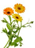 Il tagete fiorisce il calendula officinalis isolato senza ombra immagini stock libere da diritti