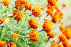 Il tagete fiorisce, fiori gialli del tagete nel giardino, giallo Fotografie Stock Libere da Diritti