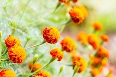 Il tagete fiorisce, fiori gialli del tagete nel giardino, giallo Fotografia Stock
