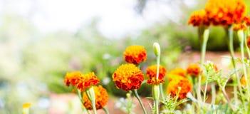 Il tagete fiorisce, fiori gialli del tagete nel giardino, giallo Fotografie Stock