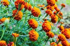 Il tagete fiorisce, fiori gialli del tagete nel giardino, giallo Fotografia Stock Libera da Diritti