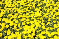 Il tagete fiorisce la ghirlanda Immagine Stock Libera da Diritti