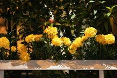 Il tagete fiorisce il recinto di plastica per Decorate nella città di Bangkok, Immagini Stock