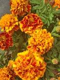 Il tagete francese vibrante fiorisce in arancia con i dettagli rossi immagini stock