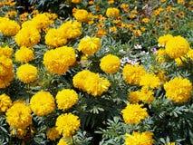 Il tagete giallo fiorisce la fioritura nel giardino, pianta di popolare della famiglia della margherita coltivato come pianta orn Fotografie Stock