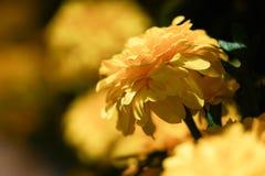 Il tagete reale fiorisce la piena fioritura il bello luminoso di sembrare del fiore Fotografia Stock Libera da Diritti