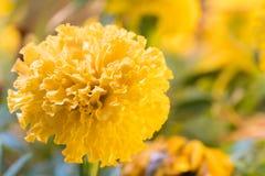 Il tagete reale fiorisce la piena fioritura il bello luminoso di sembrare del fiore Immagini Stock