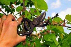 Il taglio dell'albero del giardino scorrimento la mano fotografie stock libere da diritti