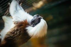 Il tamarin sommità cotone è uno primati del ` s del mondo di più piccoli immagine stock libera da diritti